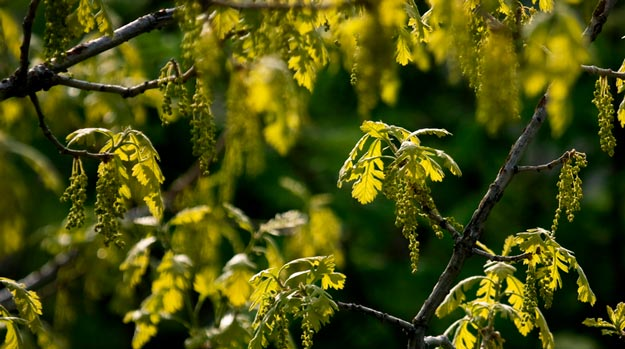 blossoming-oak-tree | What are Pollen Allergies | All You Need to Know Pollen Allergies