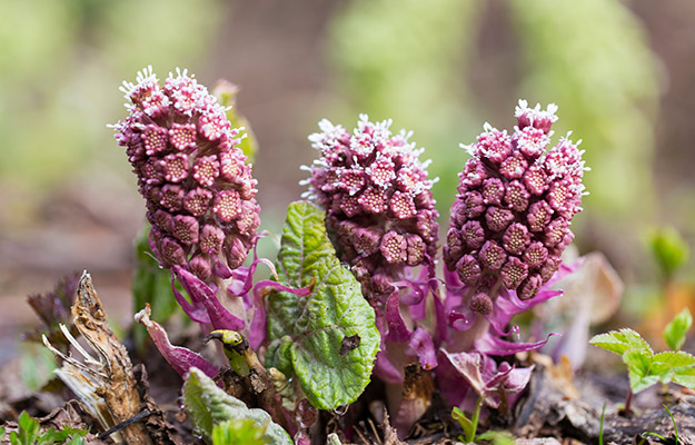 three purple butterbur on the ground | Butterbur | How to Get Rid of Spring Allergies
